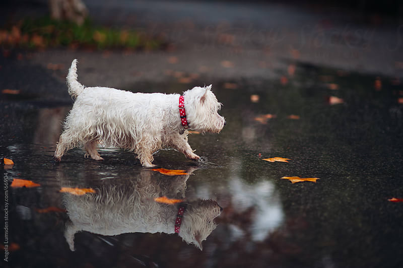 Small white dog walking through a large puddle by Angela Lumsden for Stocksy United