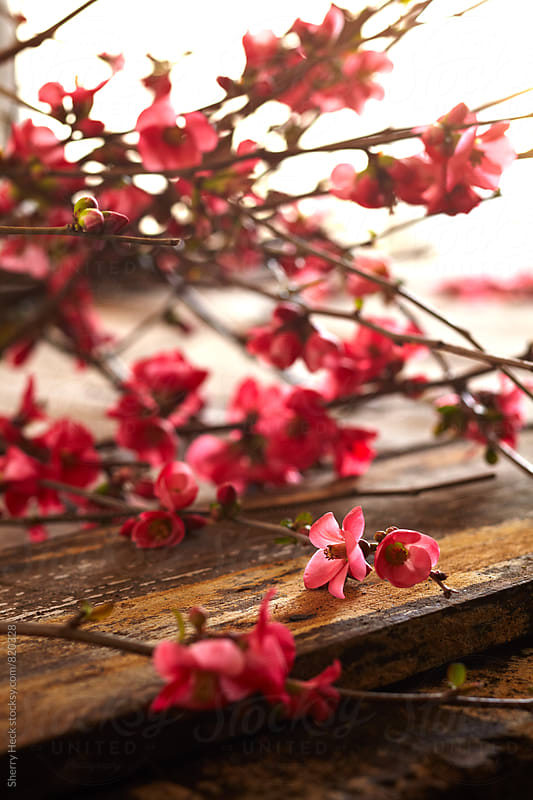 Cherry Blossom branch resting on raw wood table by Sherry Heck for Stocksy United