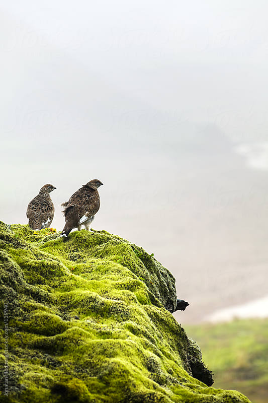 Two rock ptarmigans overlook a lava fields on Iceland by Jonatan Hedberg for Stocksy United