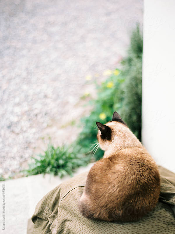 Rear sight of siamese cat laying on kennel in garden by Laura Stolfi for Stocksy United
