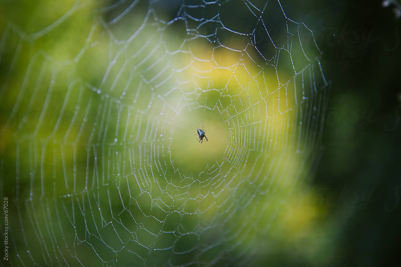 Spider on wet web by Zocky for Stocksy United