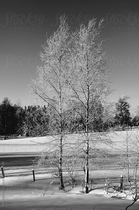 Two Snowy Trees in Winter by Stephen Morris for Stocksy United