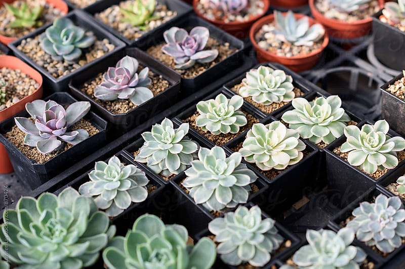 Various Succulent Cultivated Plants in Small Pots in Order by Lawren Lu for Stocksy United