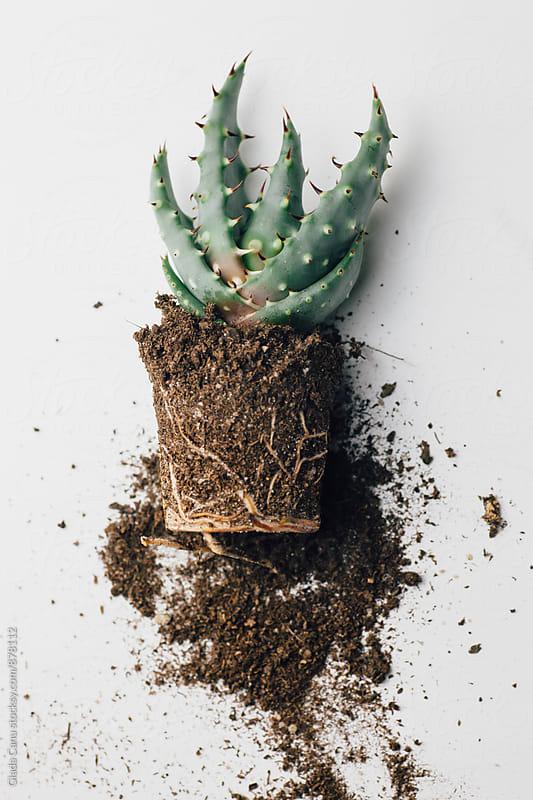 Aloe Ferox by Giada Canu for Stocksy United