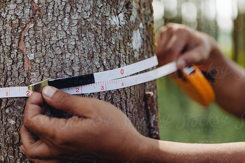 The width of a tree trunk being measured by Adrian Seah for Stocksy United