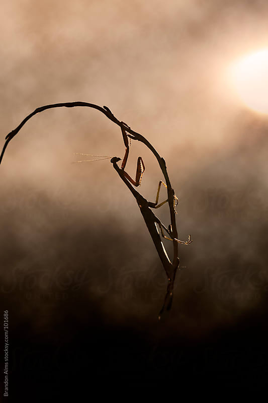 Praying Mantis Silhouette in a Foggy Sunrise by Brandon Alms for Stocksy United