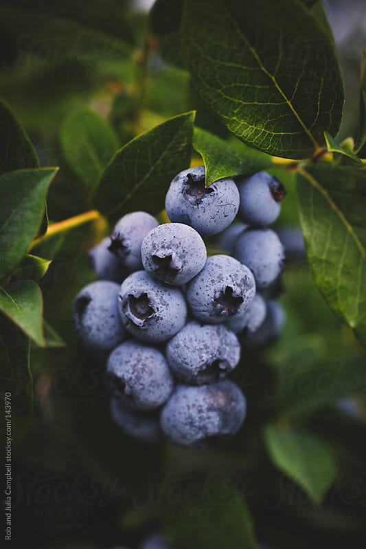 Close-up of organic blueberries on the bush by Rob and Julia Campbell for Stocksy United