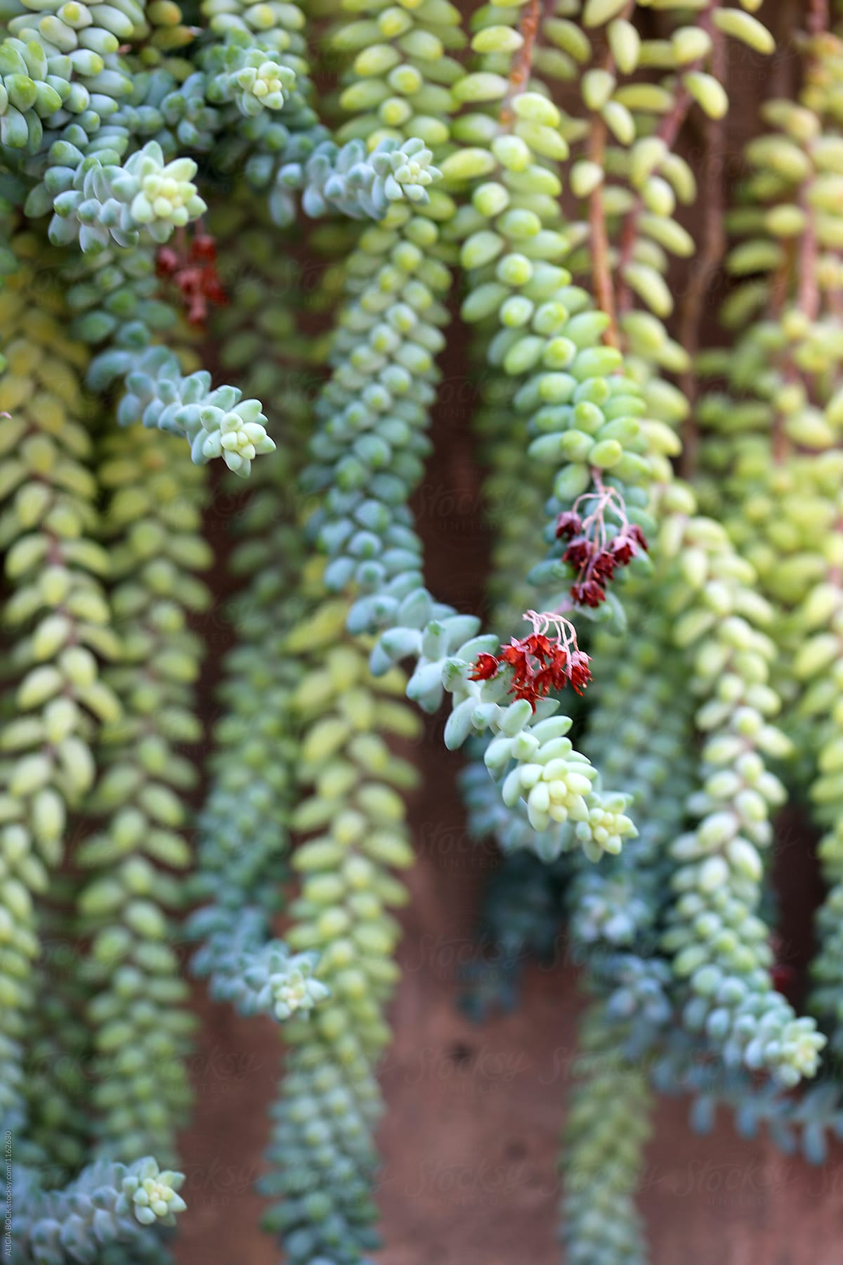 Colorful Donkey Tail Succulents Trailing Down A Wall Alicia Bock For Stocksy United Jpg 1200x1799