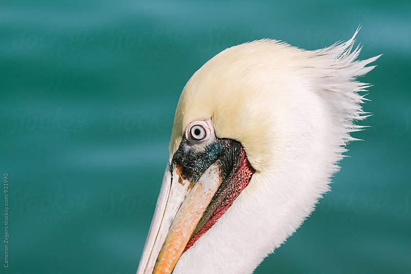 close-up of brown pelican by Cameron Zegers for Stocksy United