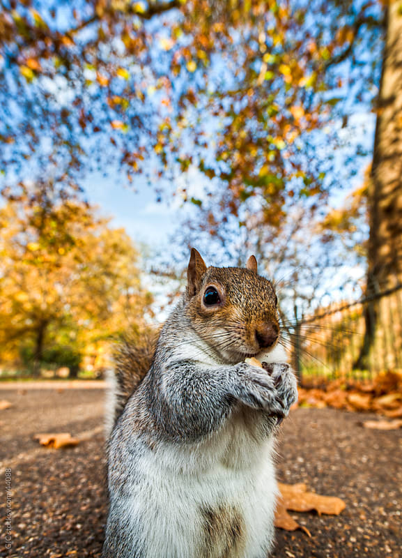 Squirrel eating a cookie in the park by GIC for Stocksy United