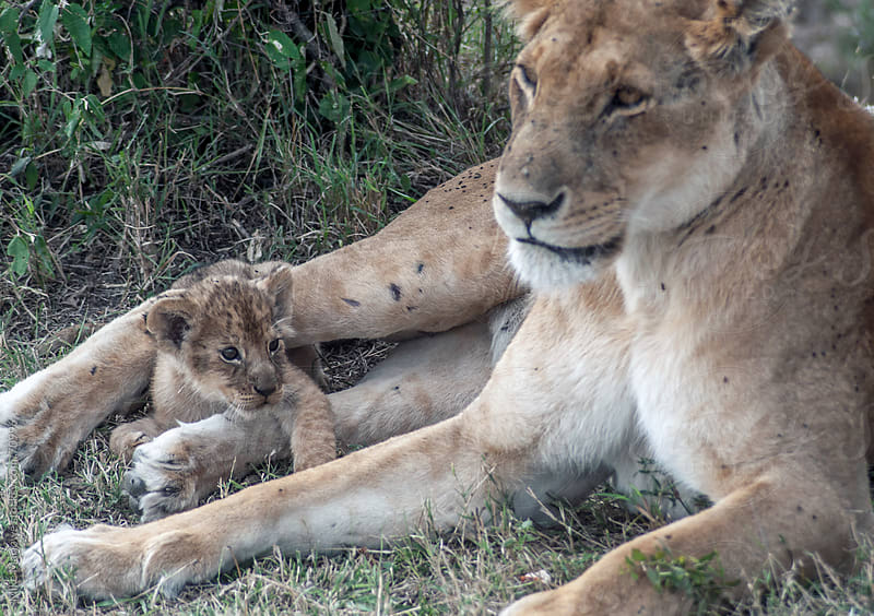 Wild lioness with young cub. by Mike Marlowe for Stocksy United