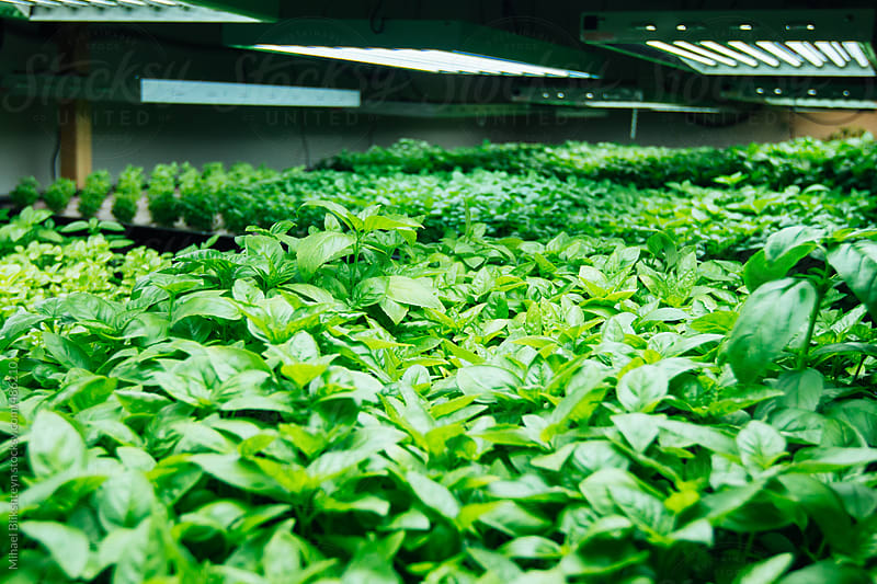 Hydroponically-grown fresh basil under grow lights on a small-scale farm by Mihael Blikshteyn for Stocksy United