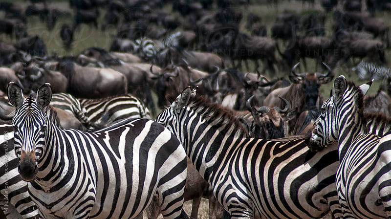 Group of zebra with wilderbeast in the background. by Mike Marlowe for Stocksy United