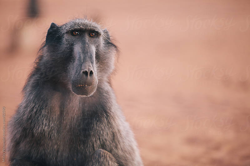 Portrait of a Chacma Baboon by Micky Wiswedel for Stocksy United