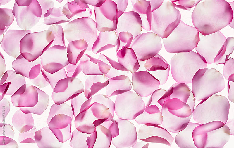 Rose petals by Alita Ong for Stocksy United