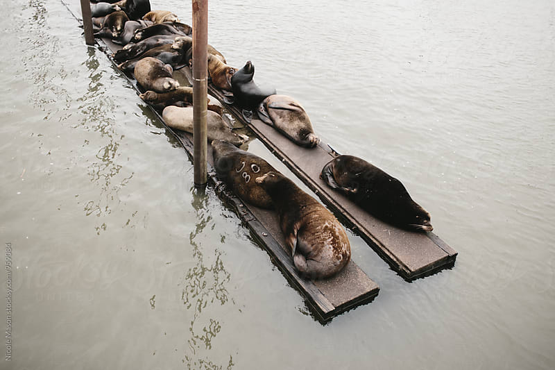 seals on docks at oregon coast by Nicole Mason for Stocksy United