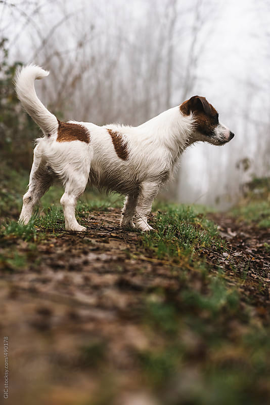Jack Russell Terrier enjoying winter in the forest by GIC for Stocksy United