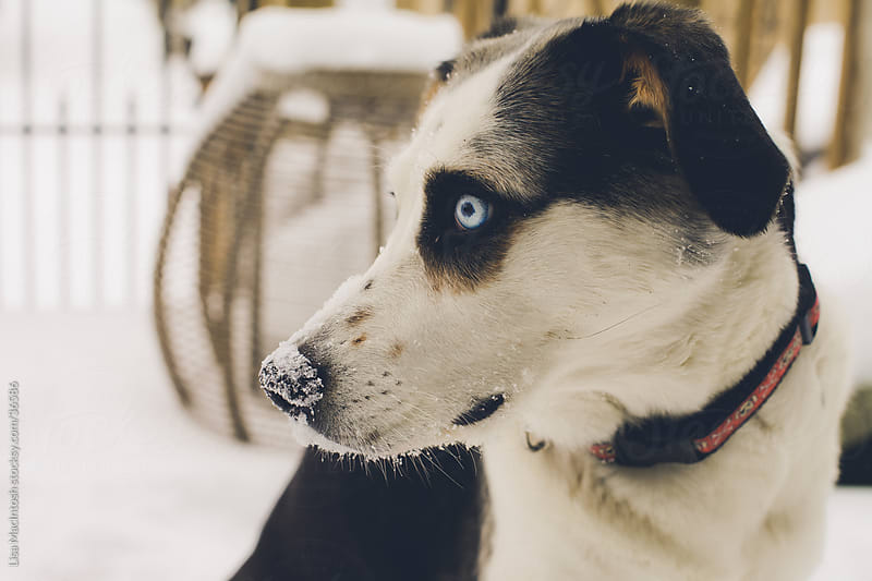 blue eyed husky beagle cross dog with nose covered in snow by Lisa MacIntosh for Stocksy United