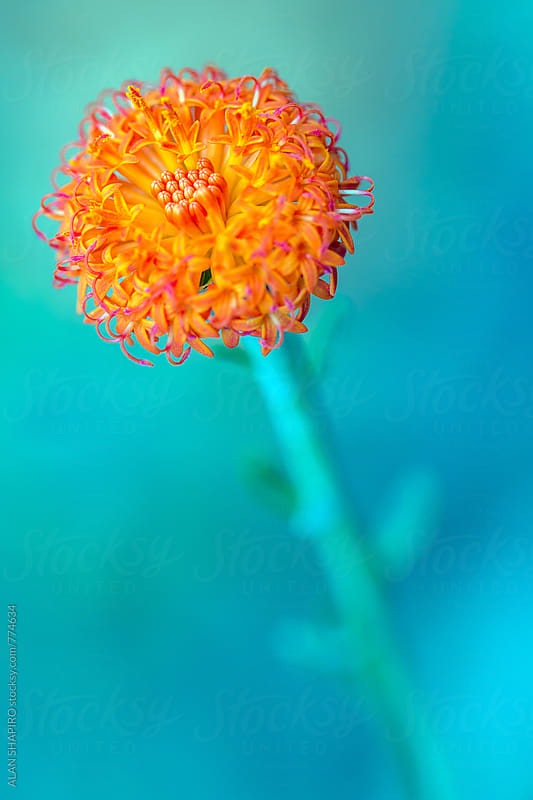 kleinia fulgens by alan shapiro for Stocksy United