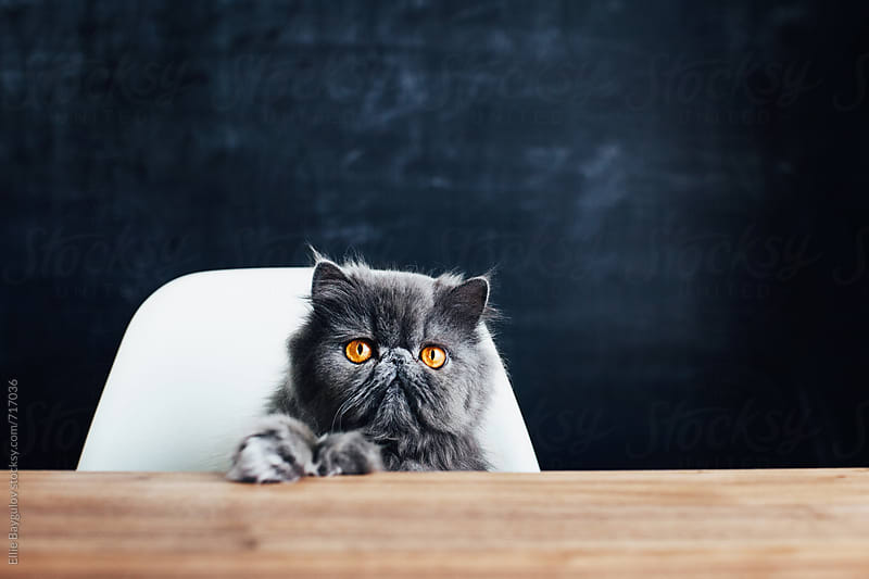 Cute persian kitty at the table by Ellie Baygulov for Stocksy United