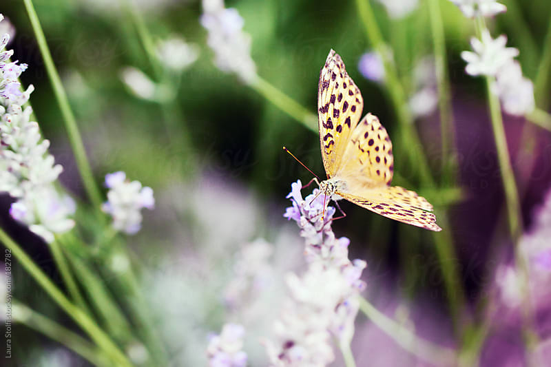 Close-up of Silver-washed Fritillary butterfly on lavender flower by Laura Stolfi for Stocksy United