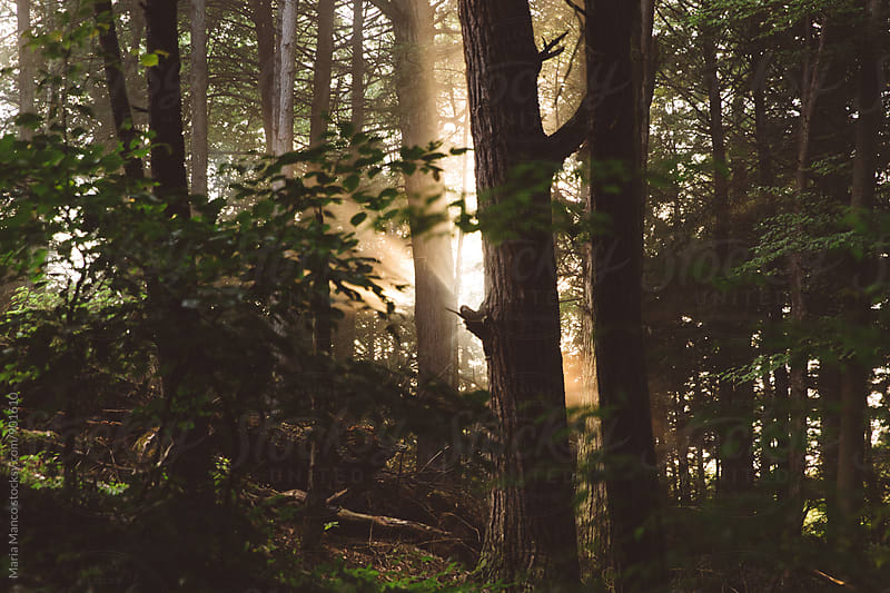 filtered sunlight through trees in forest by Maria Manco for Stocksy United