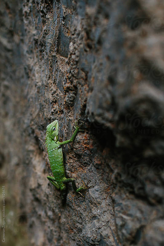 lizard on rock wall by Cameron Zegers for Stocksy United