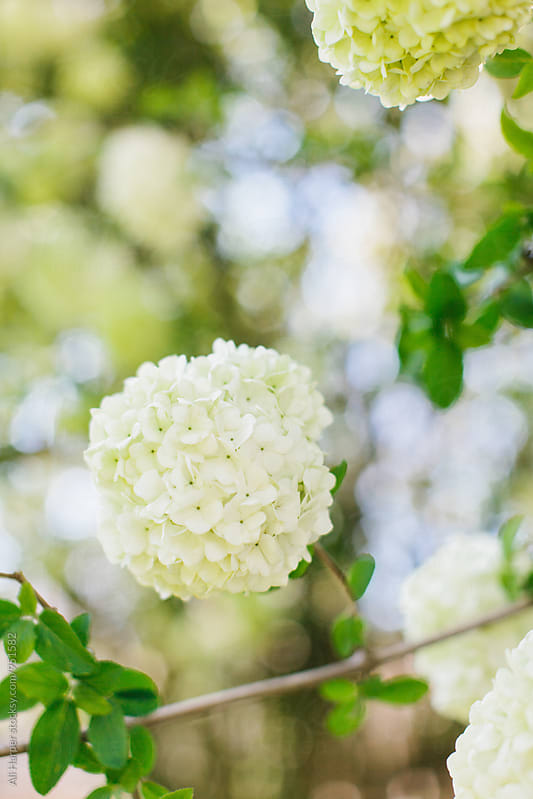 Japanese snowballs blooming on bush by Ali Harper for Stocksy United