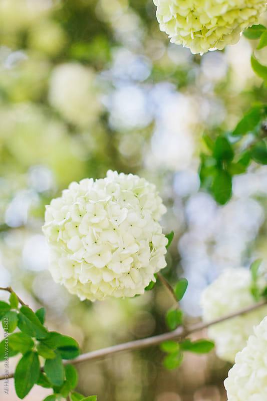 Japanese snowballs blooming on bush by Ali Harper for Stocksy United