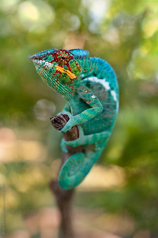 Colorful chameleon from Madagascar is climbing on a brach  by Beatrix Boros for Stocksy United