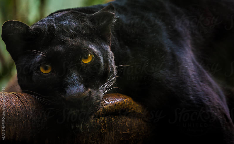 Melanistic Leopard lounging on a tree branch by alan shapiro for Stocksy United