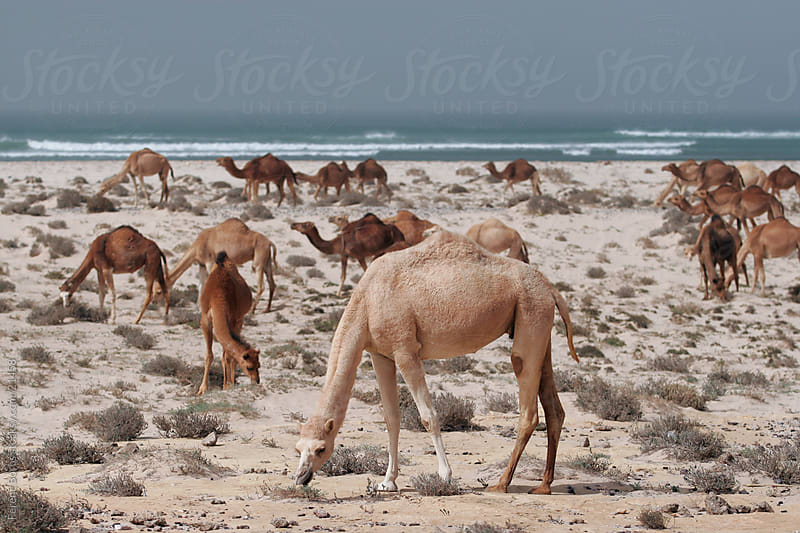 Grazing camel stud / herd by Ferenc Boros for Stocksy United