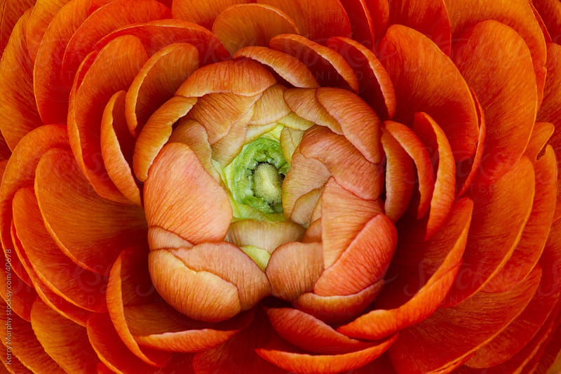 Macro of orange ranunculus flower bloom by Kerry Murphy for Stocksy United