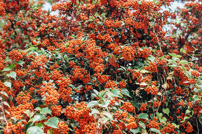 Autumnal pyracantha berries by Kitty Gallannaugh for Stocksy United