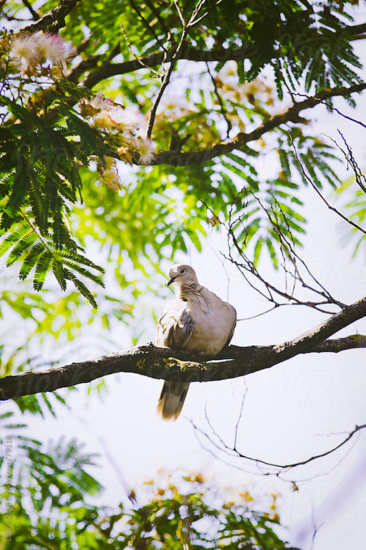 Dove on Persian silk tree (Albizia julibrissin) branch by Laura Stolfi for Stocksy United