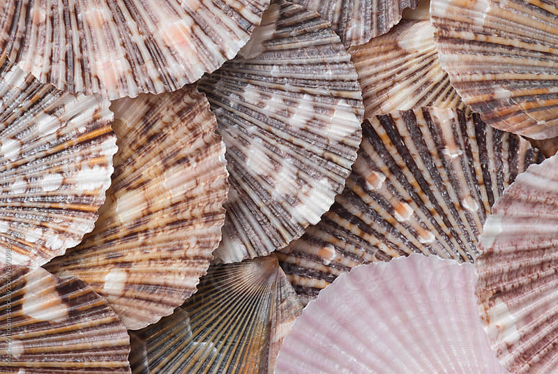 Scallop shell collection by Mark Windom for Stocksy United