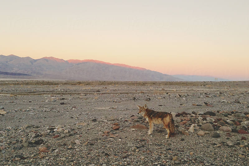 Death Valley Coyote by Kevin Russ for Stocksy United