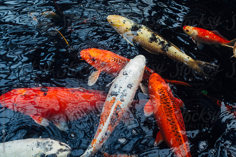 Koy carp (goldfish) swimming in a pond by Gabriel (Gabi) Bucataru for Stocksy United