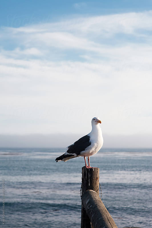 Seagull by Kayla Snell for Stocksy United