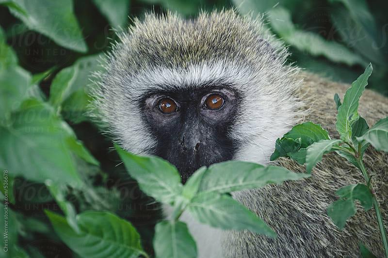 Vervet monkey in Africa by Chris Werner for Stocksy United