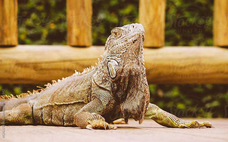 Iguana head high by ACALU Studio for Stocksy United