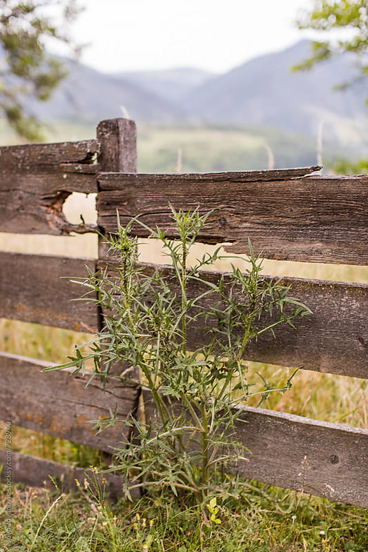 Common nettle growing next to the wooden fence by Jovo Jovanovic for Stocksy United