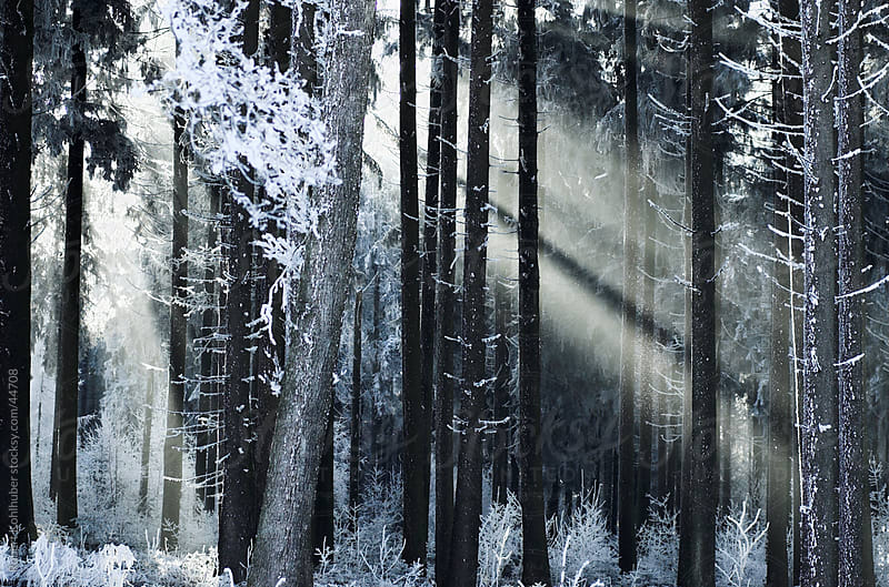 Winter forest by Robert Kohlhuber for Stocksy United