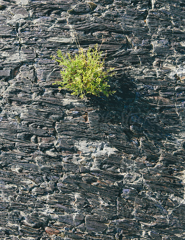 Volcanic rock from lava flow with small native plants by Paul Edmondson for Stocksy United