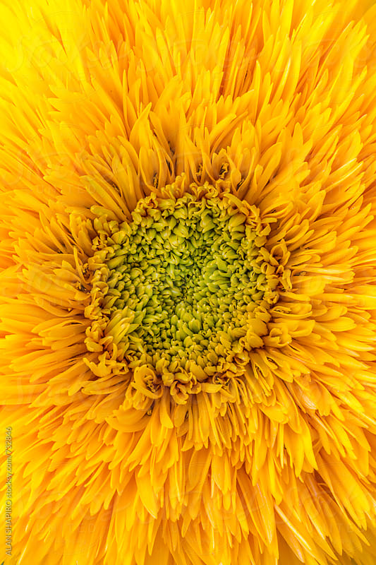 Sunflower macro by alan shapiro for Stocksy United