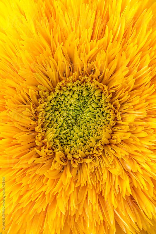 Sunflower macro by ALAN SHAPIRO for Stocksy United
