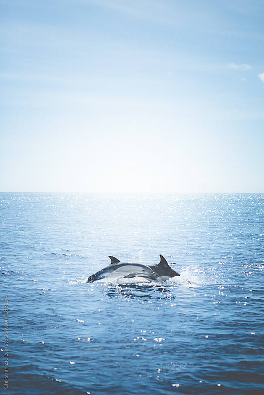 Jumping dolphins by Chris Zielecki for Stocksy United