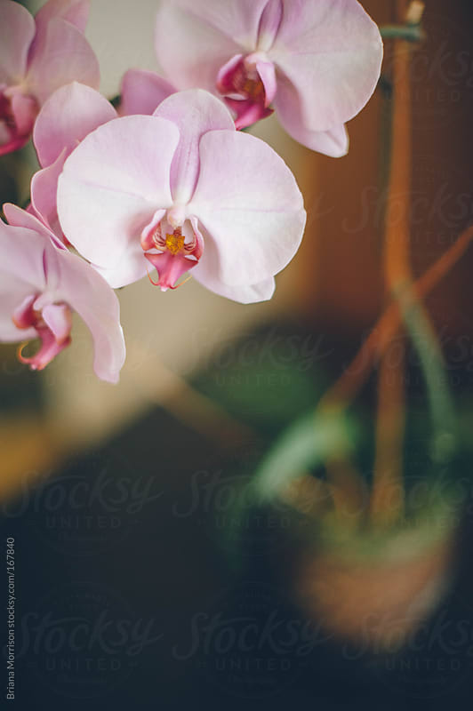 A Pink Orchid in Blossom by Briana Morrison for Stocksy United