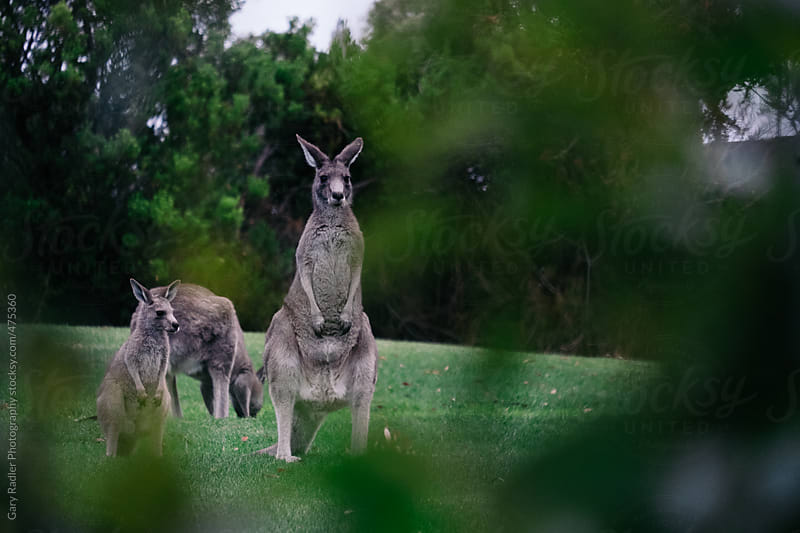 Eastern Grey Kangaroos by Gary Radler Photography for Stocksy United