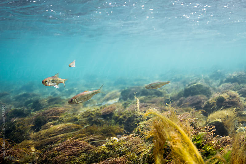 Few fish fighting a strong current underwater of a crystal clear mountain  river by Jovana Milanko for Stocksy United